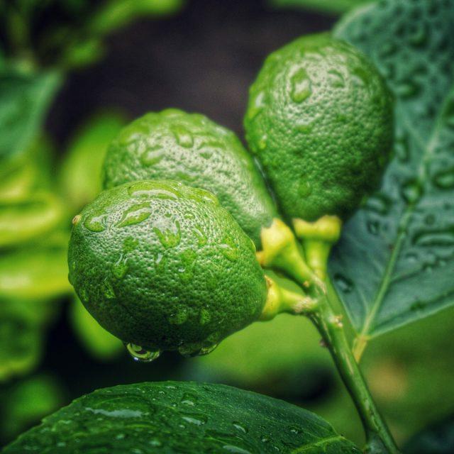 Kaffir Lime - kefir lime