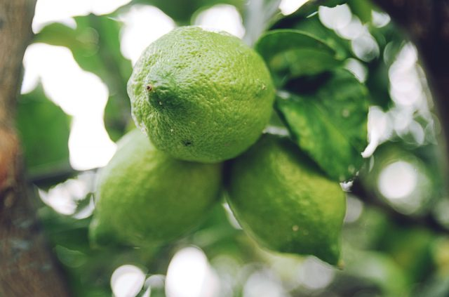 Kaffir-lime-on-tree-ingredient-for-kefir lime-beer